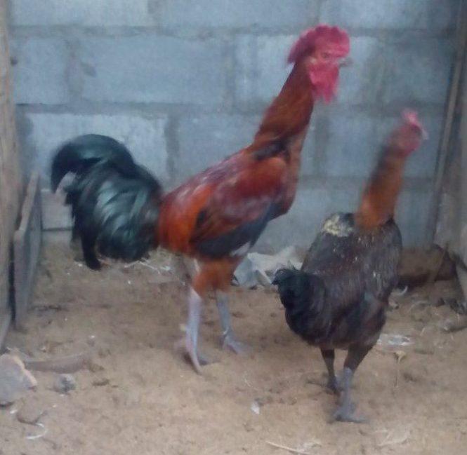 Foto Sepasang Ayam Pelung Dewasa