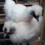 Ayam Cemani, Ayam Kapas, Ayam Batik Kanada Gold dan Ayam Mutiara Indukan Persiapan Kirim ke Pelanggan Kami Bapak Arul di Kendari