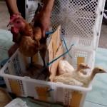Ayam Pelung dan White Holland Turkey atau Kalkun Putih Pesanan Pak Tony di Tanjung Redeb Berau Kalimantan Timur