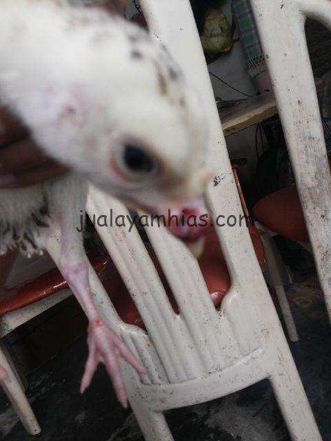 Mengobati Penyakit Cacar Pada Ayam Kalkun Dengan Cara Mudah