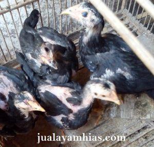 Anakan Ayam Bangkok