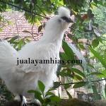 Galeri Foto Ayam kapas