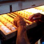Pertimbangan Suhu dan Kelembapan dalam Proses Penetasan Telur