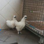 Pengiriman Ayam Pesanan Pak Andy di Banda Aceh