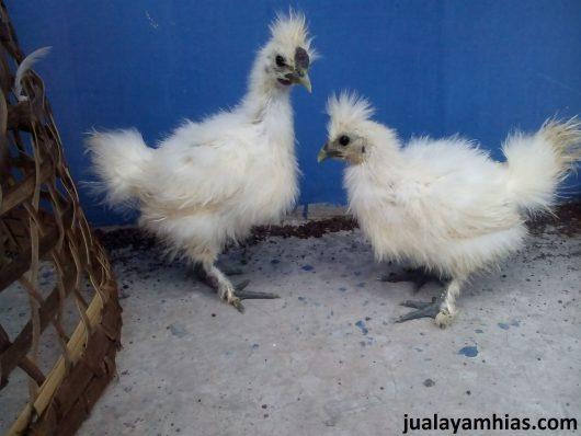 Ayam Kapas Usia 2 Bulan