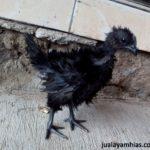 Pengiriman Ayam Pesanan Pak Solikhin di Banyumas
