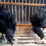 Ayam Cemani Walik Umur 2,5 Bulan