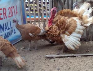 Ayam Kalkun Bourbon Red