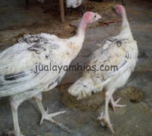 Ayam Kalkun Golden Palm