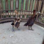 Pengiriman Ayam Pelung Pesanan Pak Wandi di Bantul Yogyakarta