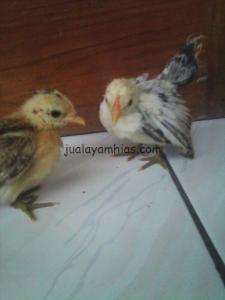 Ayam Serama Umur 1 Bulan