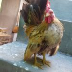 Ayam Bekisar, Ayam Polan, Ayam Batik Kanada Gold dan Ayam Serama Persiapan Kirim ke Pak Rendy di Daerah Karya Jaya Palembang