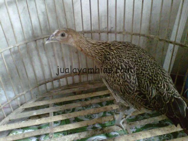 Ayam Bekisar Betina