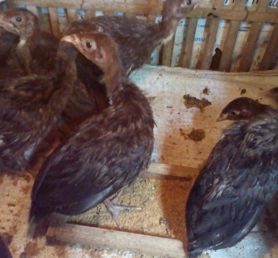 Jual Ayam Kalkun Black Spanish Anakan umur 1 Bulan