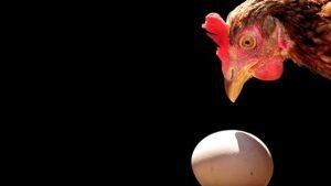 Indukan Ayam Bersiap Mematuk Telur nya Sendiri