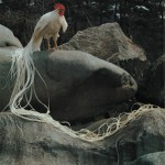 Jual Ayam Onagadori Ekor Panjang Siap Kirim ke Seluruh Penjuru Indonesia