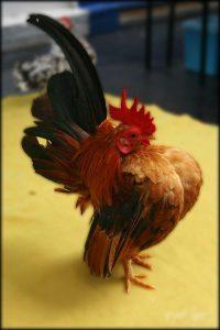 Ayam Serama Jantan Tricolor