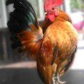 Foto Ayam Serama