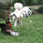 Solusi Saat Ayam Jago Agresif yang Muncul di Usaha Ternak Ayam Kita