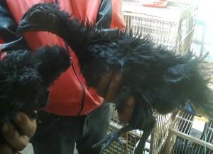 Ayam Cemani Walik Umur 3 Bulanan