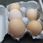 7 Manfaat Saat Anda Memelihara Ayam