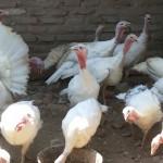 Ayam Kalkun Putih atau White Holland Turkey