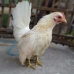 Produktivitas Ayam Serama dan Cara Mengatasi Agar Bisa Memaksimalkan Dalam Menetaskan