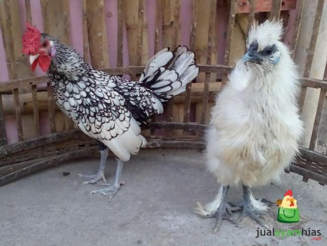 Ayam Batik Itali Umur 5 Bulan dan Ayam Kapas Betina Umur 4 Bulan Pesanan Pak Acai