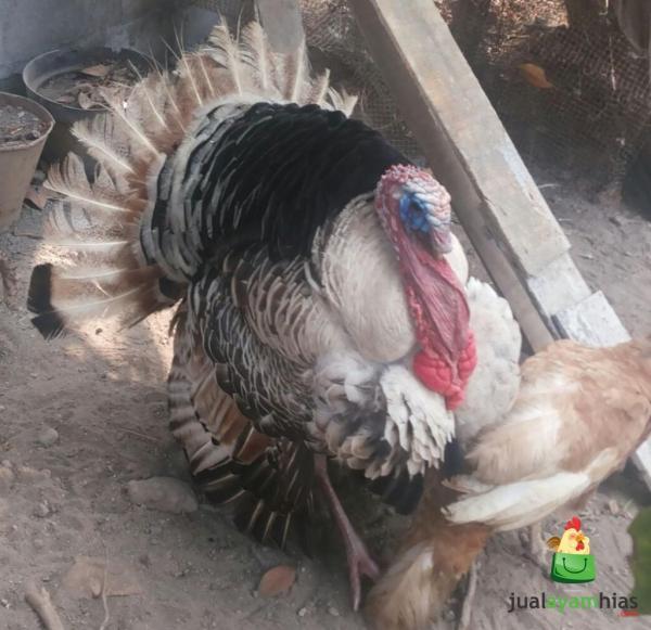 Ayam Kalkun Golden Palm Jantan 1