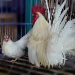 Cara Memelihara Anakan Ayam Kate Agar mempunyai Stamina yang Bagus
