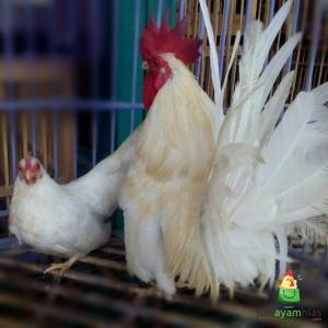 Ayam Kate Indukan Warna Putih