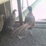 Mengenal Ternak Ayam Ringneck Pheasent yang Bertelur Sepanjang Tahun