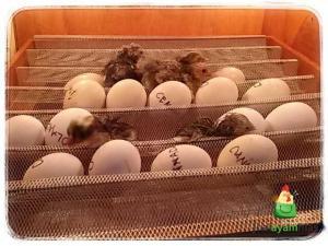 Dan telur ayam hias mulai menetas