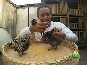 Saat ayam hias di pelihara dari kecil, mereka akan mengetahui dan akrab dengan pemiliknya