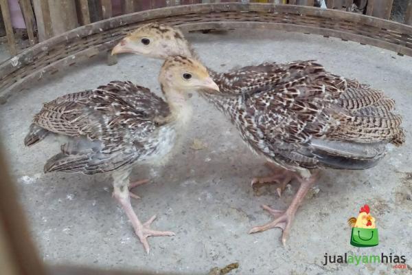 Sepasang Ayam Kalkun Jenis Bronze Umur 1,5 Bulan Persiapan Kirim ke Bapak Okky di Ciledug Tangerang Daerah Banten