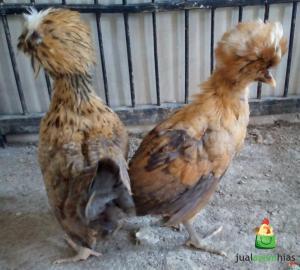 Sepasang Ayam Polan Warna Kuning Umur 2 Bulan