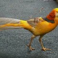 Yellow Pheasent