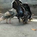 Sepasang Ayam Kalkun Bronze di Belakang Kantor jualayamhias.com