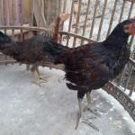 Ayam Ketawa dan Ayam Serama Umur 3 Bulan Pesanan Pak Rindang di Bekasi