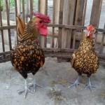 Ayam Batik Kanada Coklat Gold Dewasa Siap Kirim untuk Pak Yusuf di Pamoyanan, Cianjur, Jawa Barat