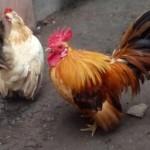 Cara Mudah Beternak Ayam Kate