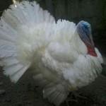 Jual Ayam Kalkun Putih atau  White Holand Turkey
