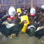 Mari Mengenal 3 Metode Pembesaran Ayam Pedaging Unggul