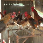 6 Kelebihan Berbudidaya Ayam Kampung