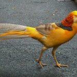 Mengenal Yellow Pheasant