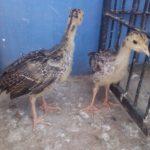 Ayam Kalkun Sepasang Umur 1 Bulan Pesanan Bapak Agung di Bogor