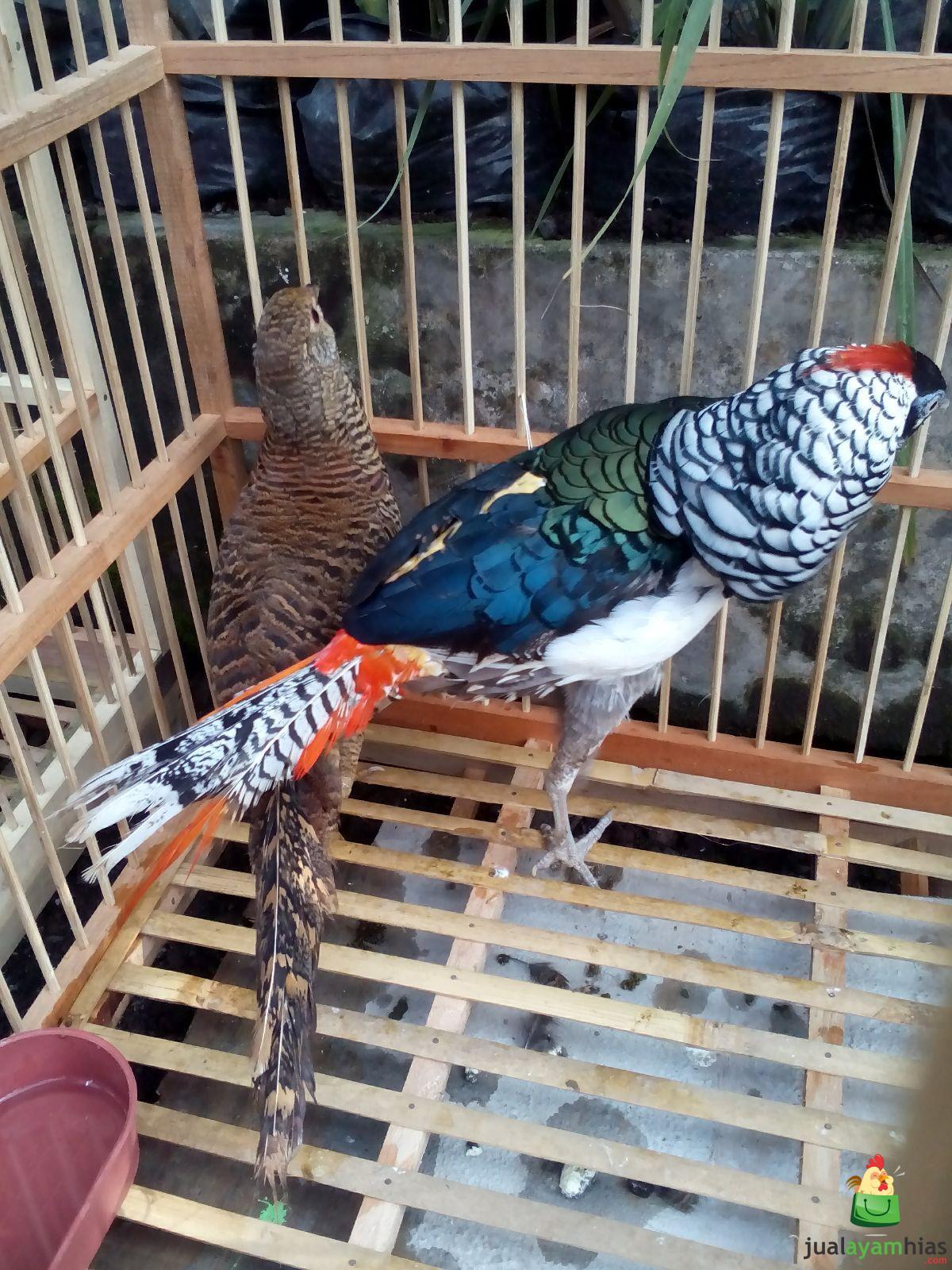 Ayam Lady Amhers Pheasent Dewasa Sepasang (7)