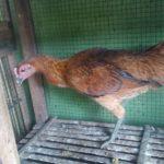 Pemeliharaan Ayam Pelung dari Anakan Hingga Dewasa