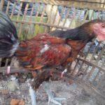 Ayam Pelung Umur 5 Bulan Pesanan Bapak Nanang di Tangerang