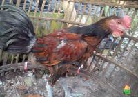 Ayam Pelung Jantan Umur 5 Bulan